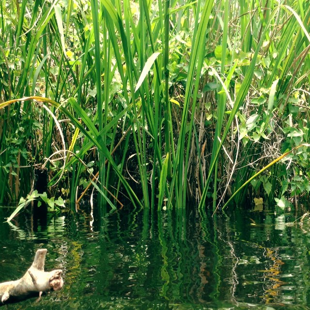 Lil #alligator in the #Everglades. My guided pole boat  #ecotour  will make your #florida #vacation  an #adventure .